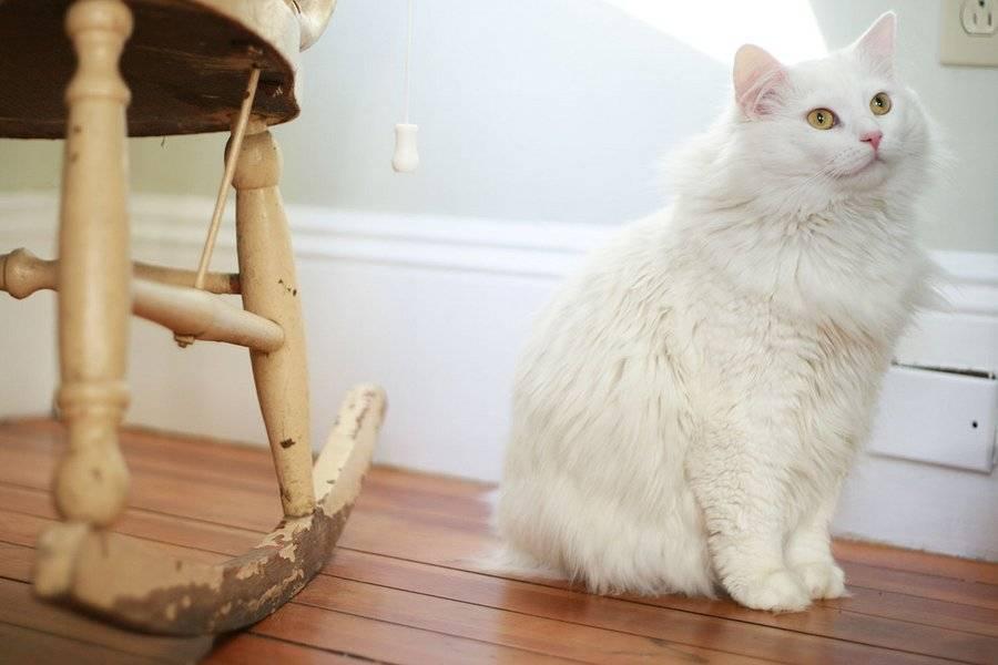Характер кошек породы турецкая ангора