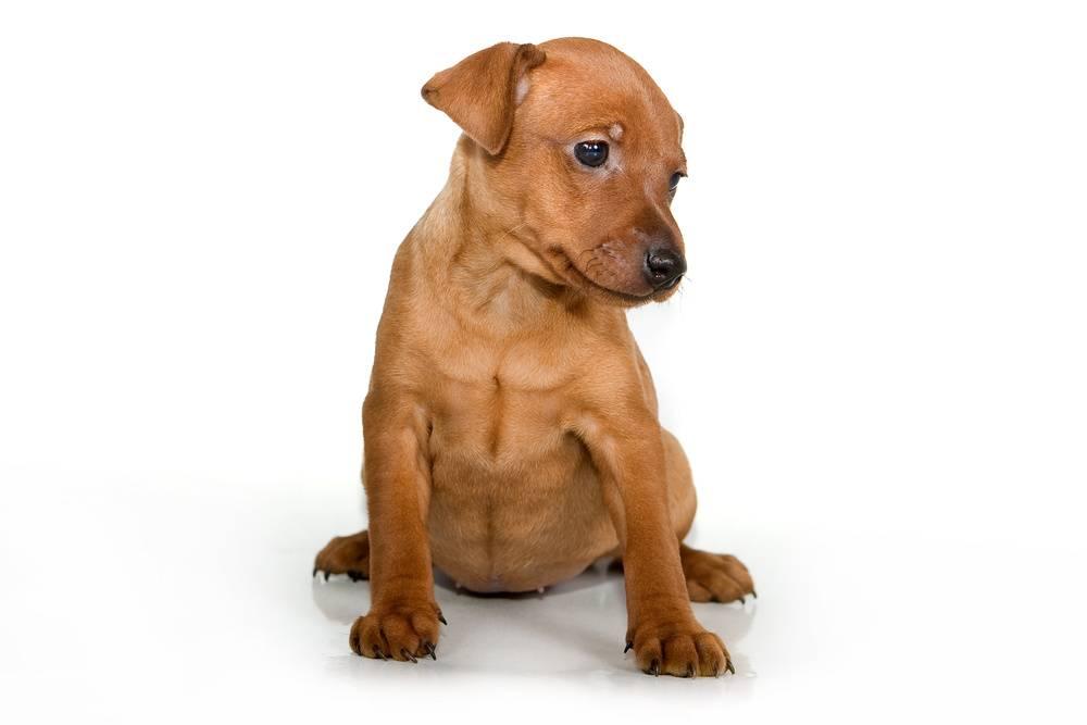 Австрийский короткошерстный пинчер: описание, характер, фото | все о собаках