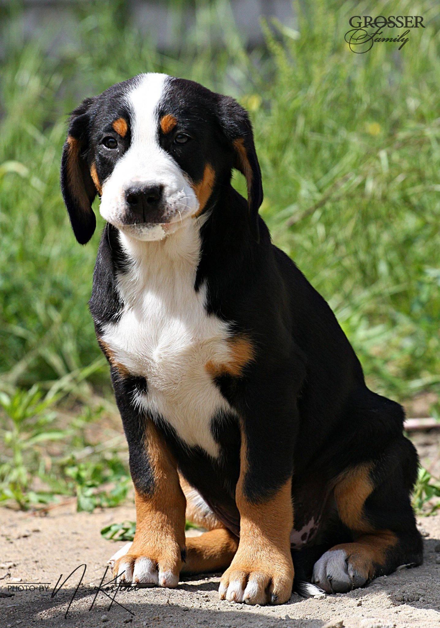 Швейцарский зенненхунд собака. описание, особенности, уход и цена породы | sobakagav.ru