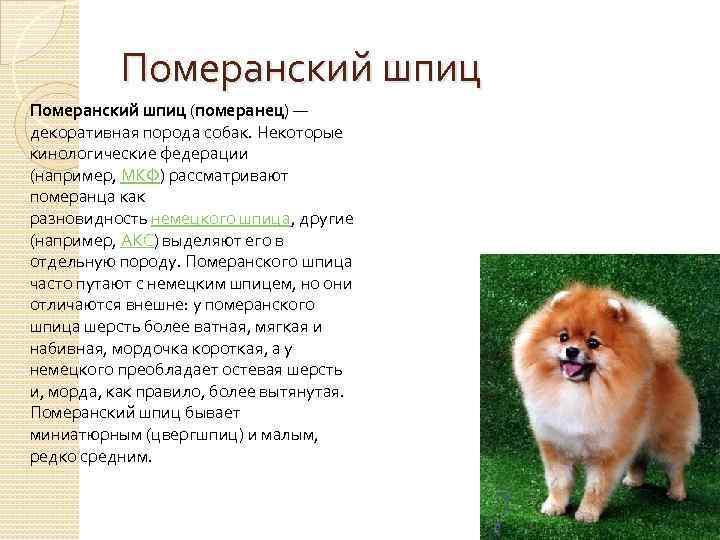 Немецкий шпиц - декоративная порода собак. фото, характер, уход, питание, вес, рост, отзывы, цена
