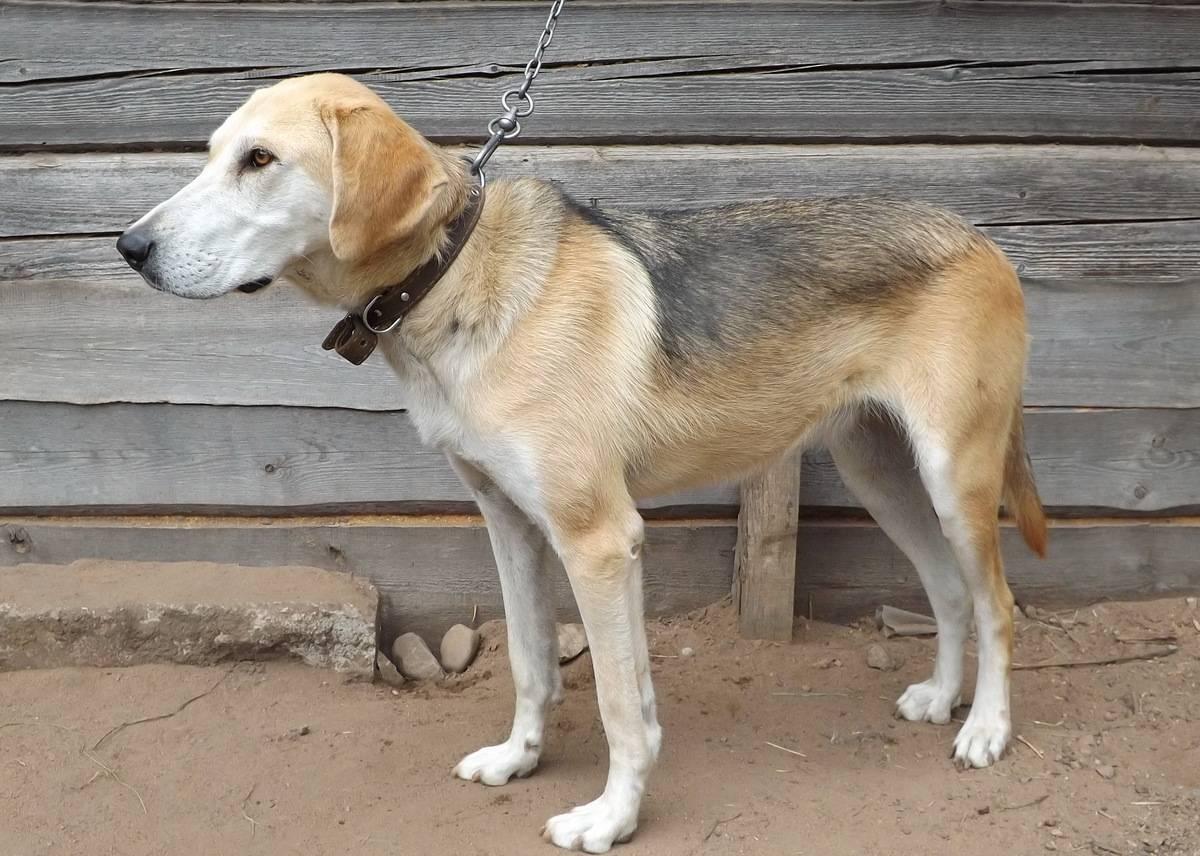 Русская пегая гончая: фото и видео собак на охоте, стандарт и описание породы