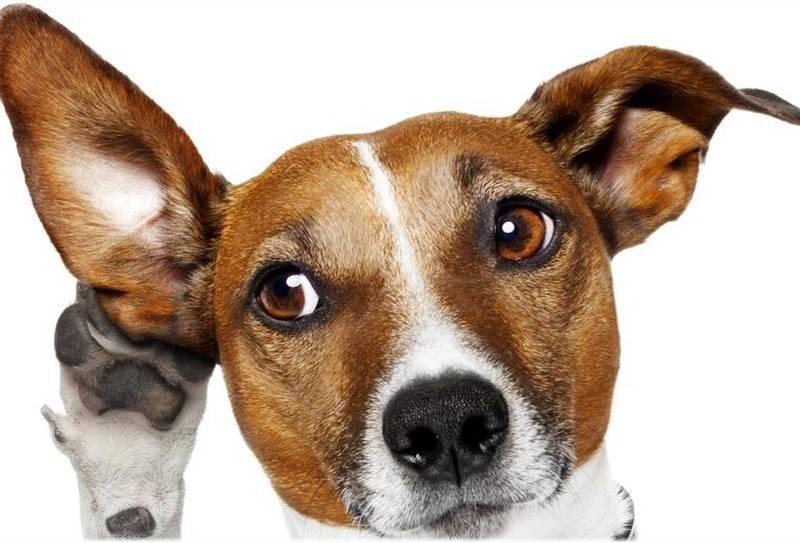 Почему собаки наклоняют голову, когда с ними разговаривает человек