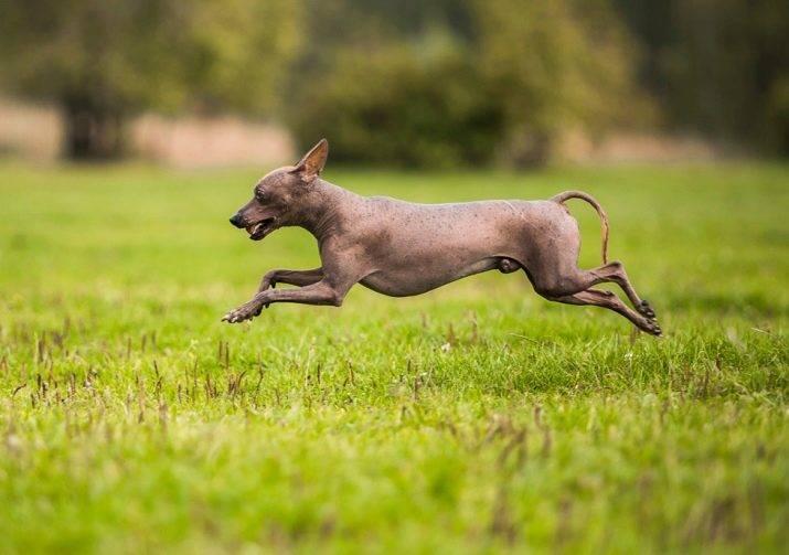Перуанская голая собака - infodog.ru