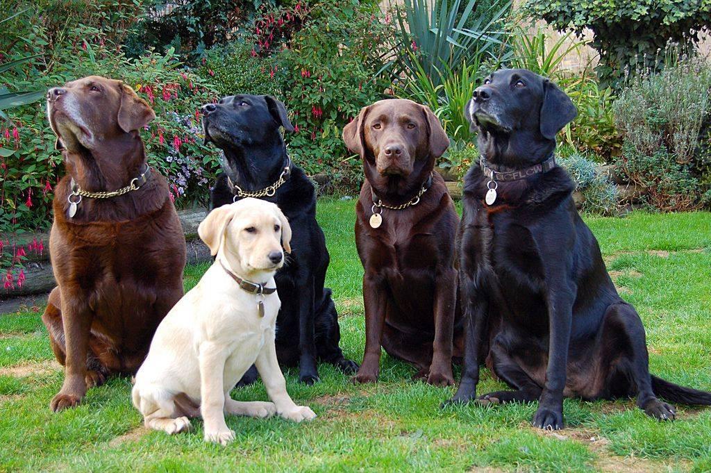Палевый лабрадор (24 фото): особенности окраса щенка-ретривера, характер взрослых собак палевого цвета. клички для мальчиков и девочек