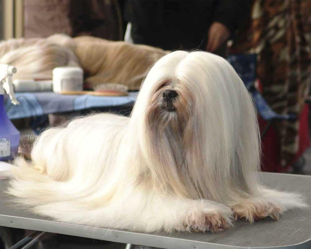 Лхаса апсо, священная собака тибетских монахов
