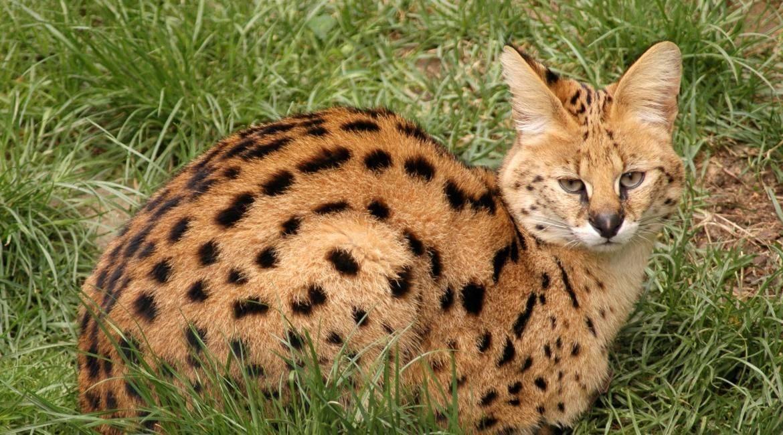 Сервал или кустарниковая кошка