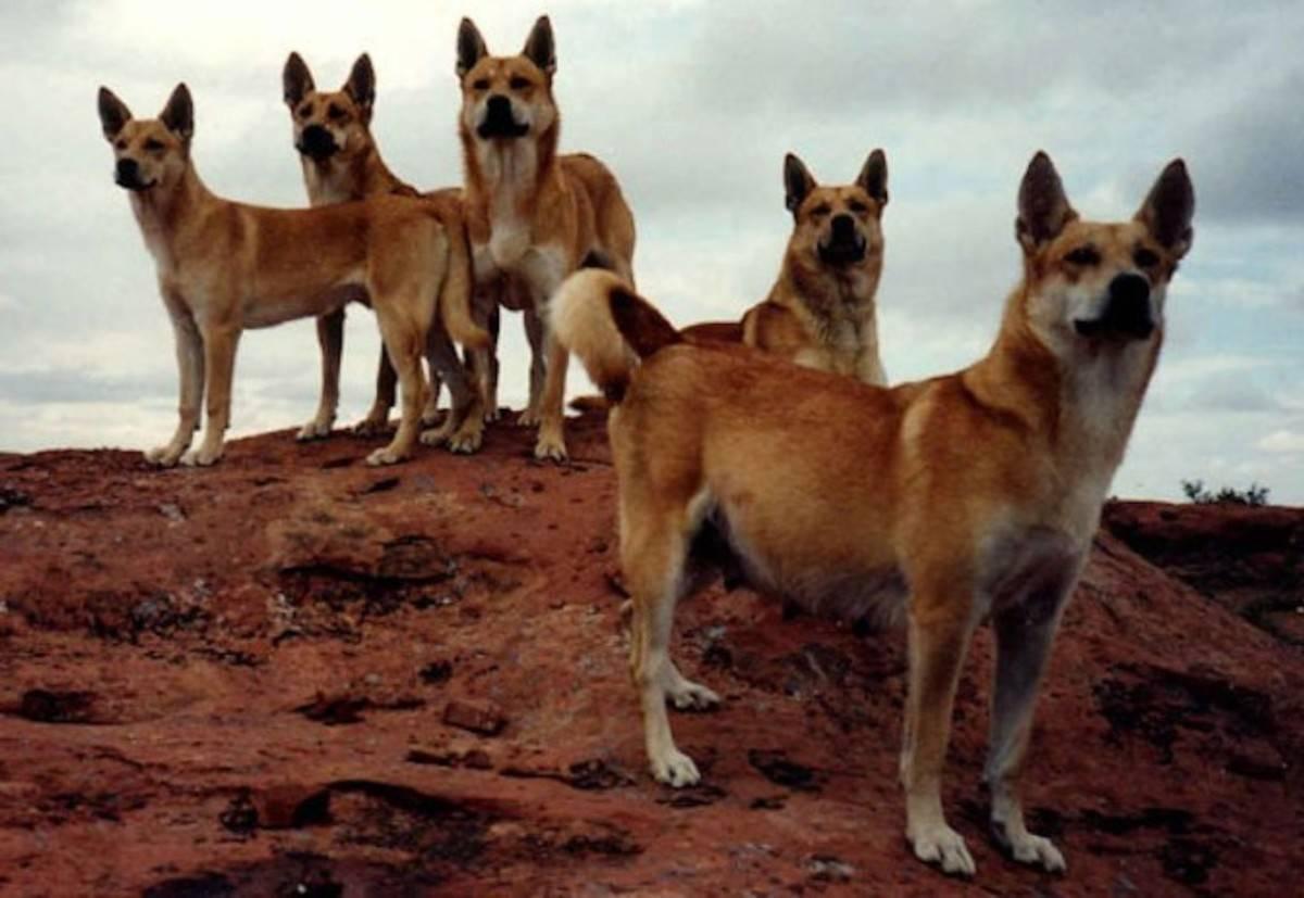 Волчья собака сарлоса: описание, стандарты породы, характер, уход и содержание, цены, фото