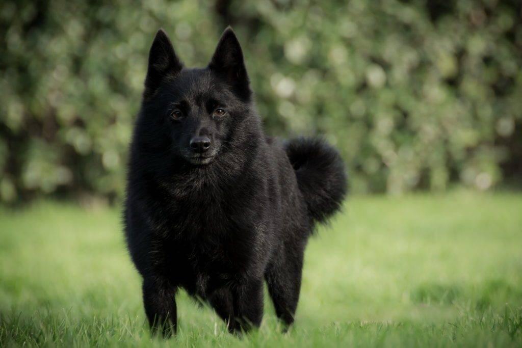 Шипперке: описание породы собак, содержание и уход, особенности здоровья и стоимость щенка