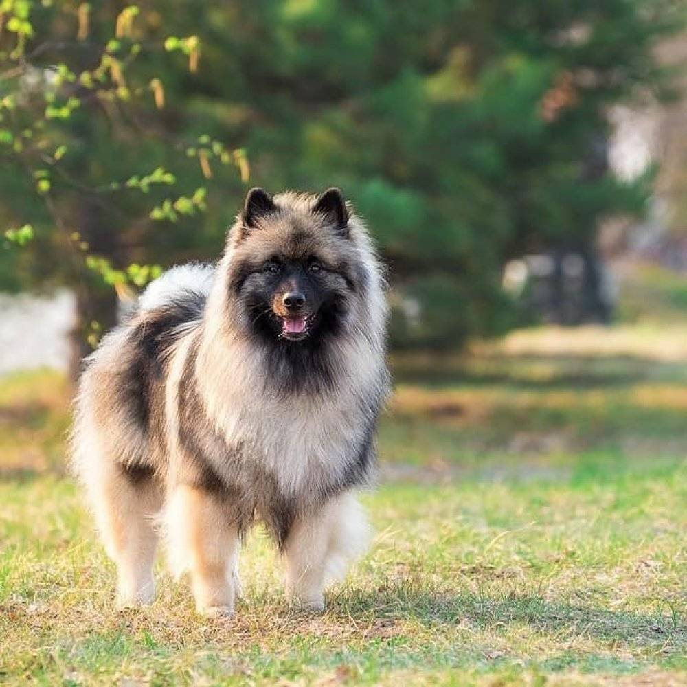 Порода собак кеесхонд (вольфшпиц): описание, характер, фото