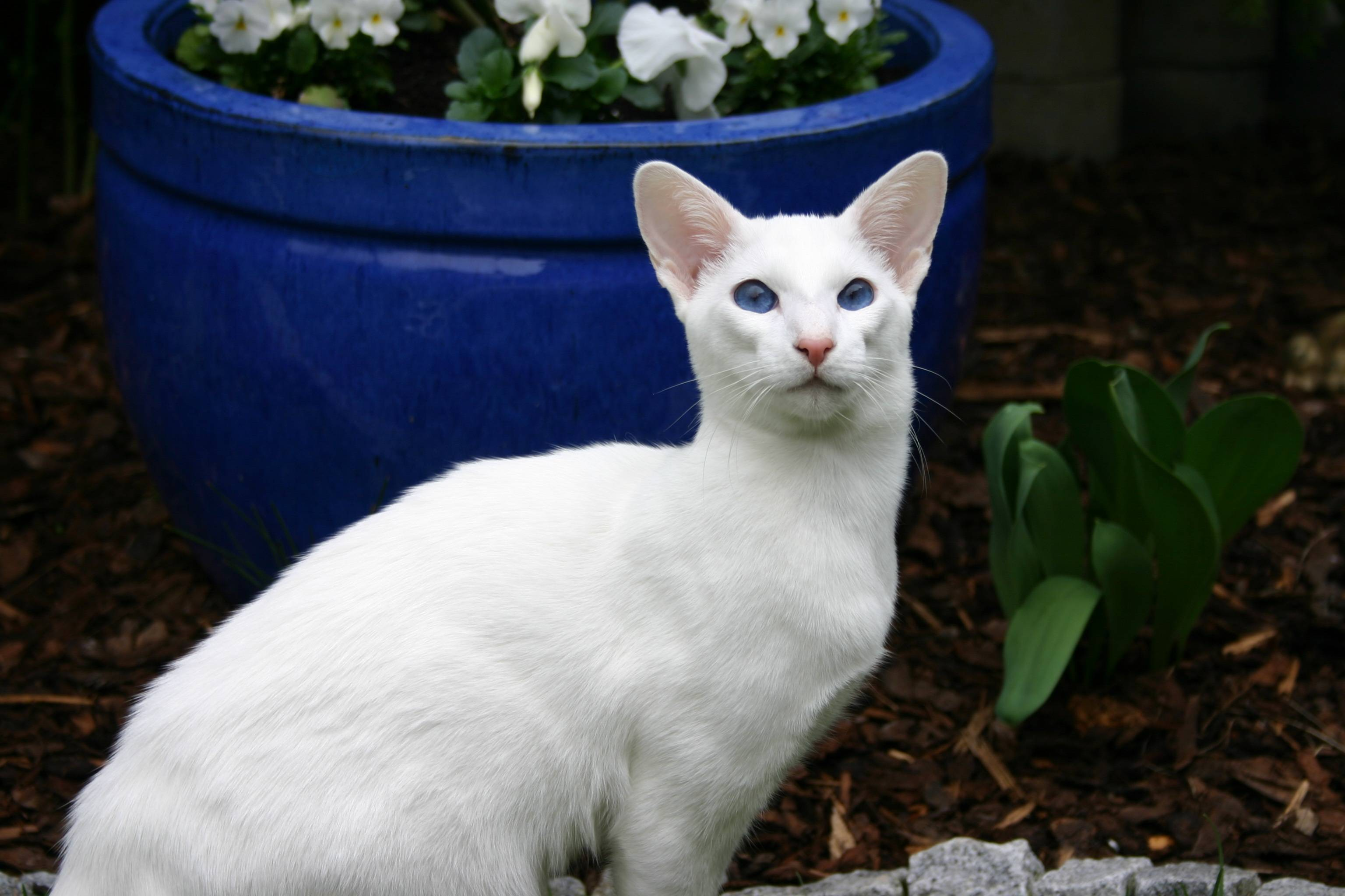 Серо-белые коты: описание внешнего вида и особенности поведения