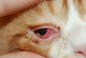 Почему у котёнка гноятся глаза