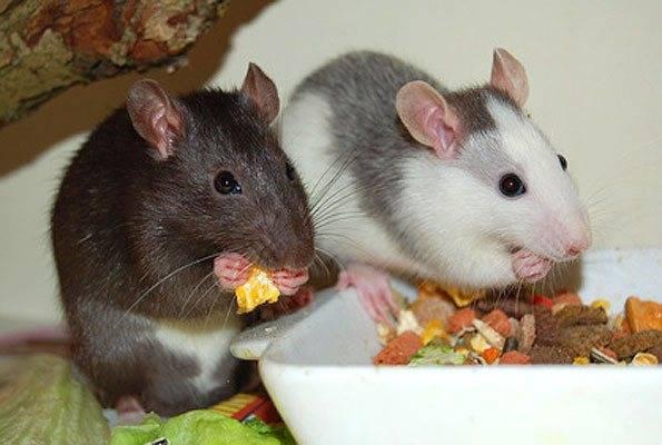 Что едят мыши летучие и полевые в домашних условиях?