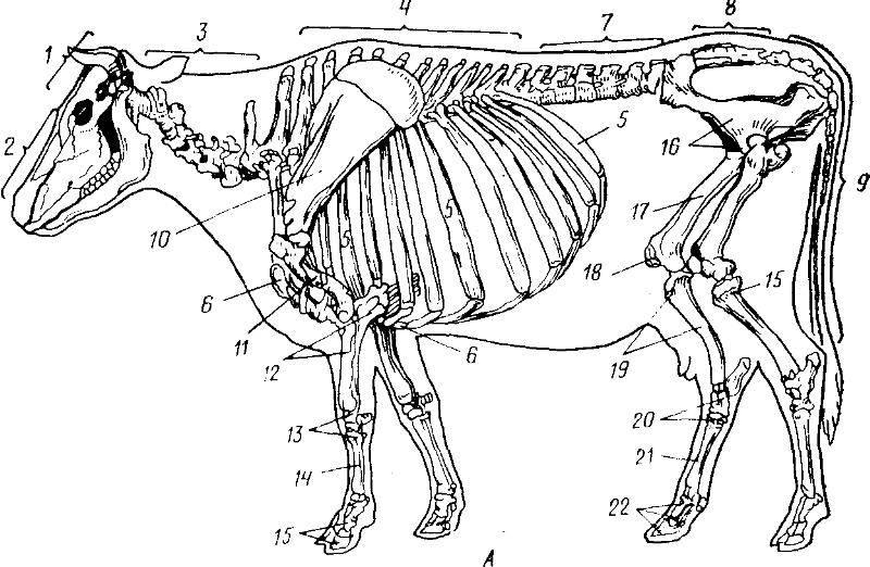 Скелет собаки: анатомия черепа, строение ребер и внутренних органов