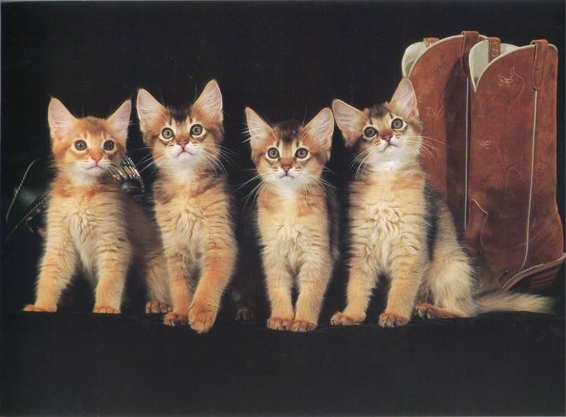 Сиамские кошки: особенности внешности и характера, питание, уход и разведение