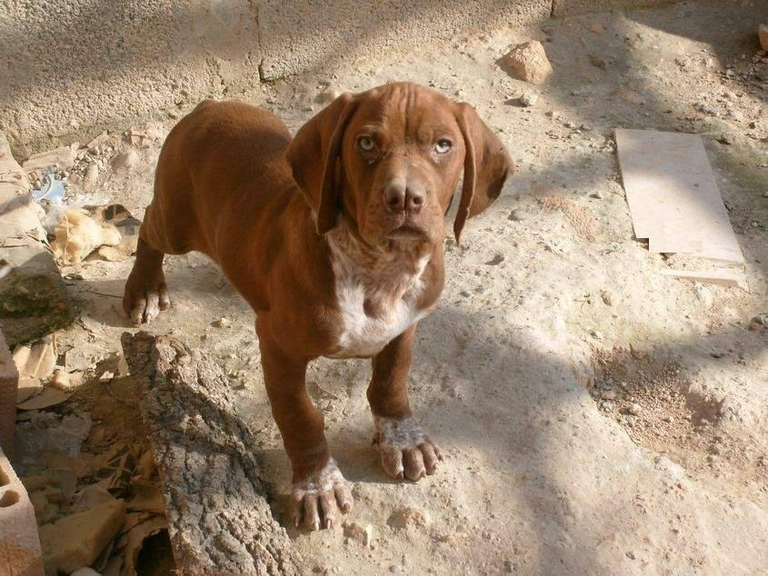 Каталбурун собака. описание, особенности, виды, характер, уход и цена породы каталбурун