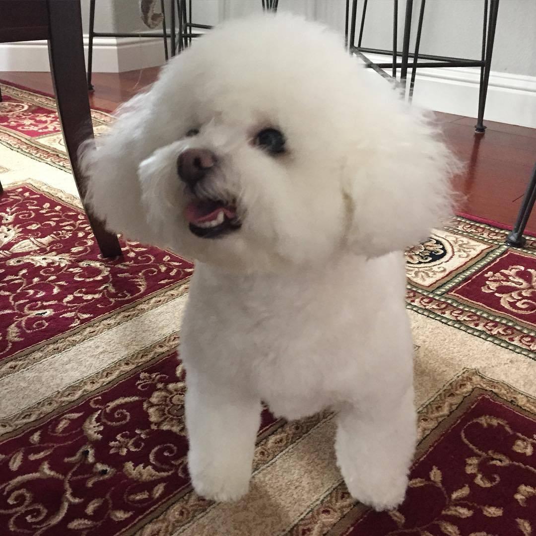 Бишон фризе — описание, уход и особенности породы, содержание и история французской декоративной собаки (фото + видео)