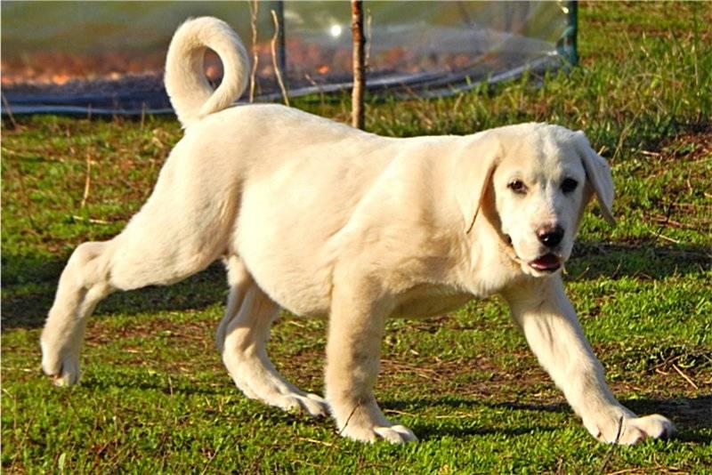 Собака алабай, что это за порода и как выглядят такие собаки