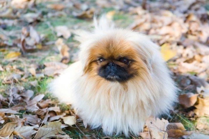 Пекинес — порода собак