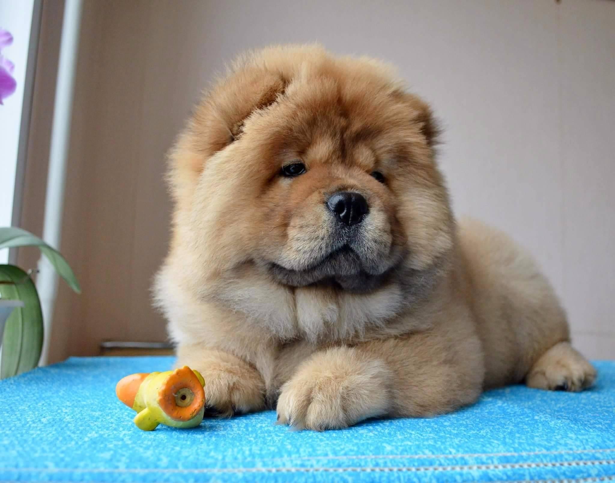 Описание породы и характер собаки чау-чау