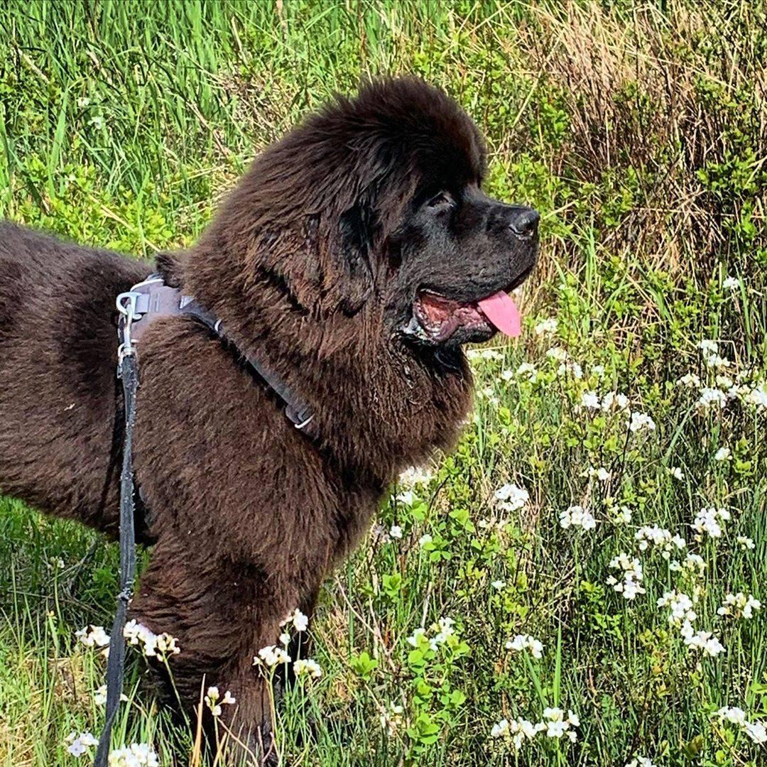 Порода ньюфаундленд (водолаз): фото собаки, уход и характеристики