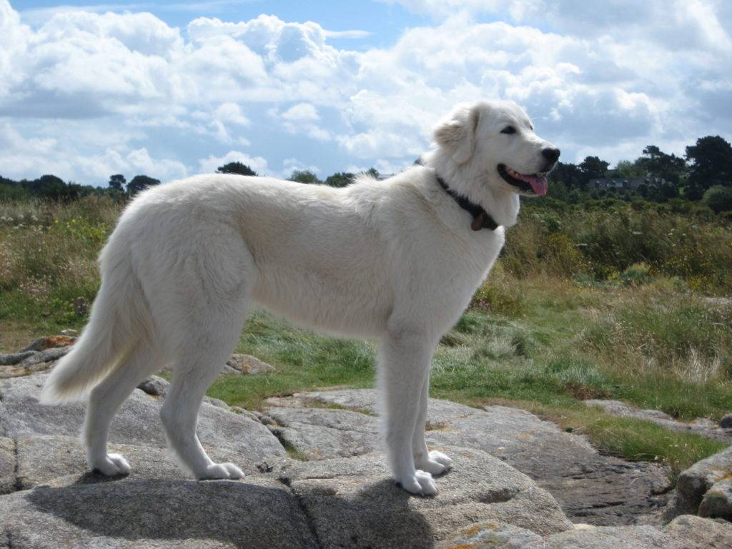 Маремма-абруццкая овчарка - характер и особенности поведения
