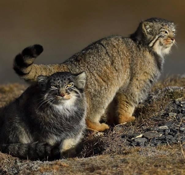 Кот манул: его наружность, образ жизни