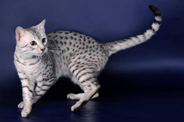 9 шикарных пород кошек, которые не линяют и не пахнут