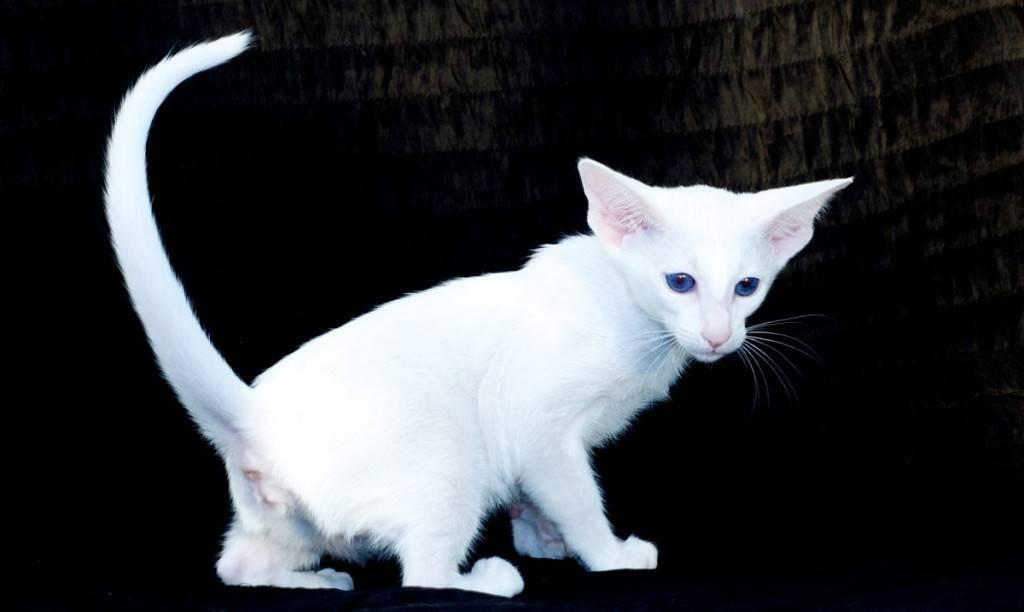 Кошки породы форин вайт