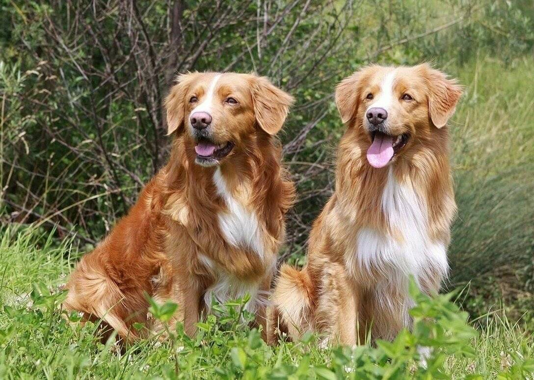 Золотистый ретривер: все о собаке, фото, описание породы, характер, цена