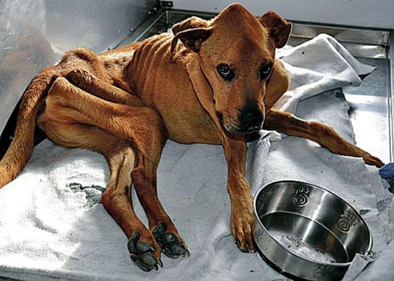 Причины и помощь при вялости и отсутствии аппетита у собаки