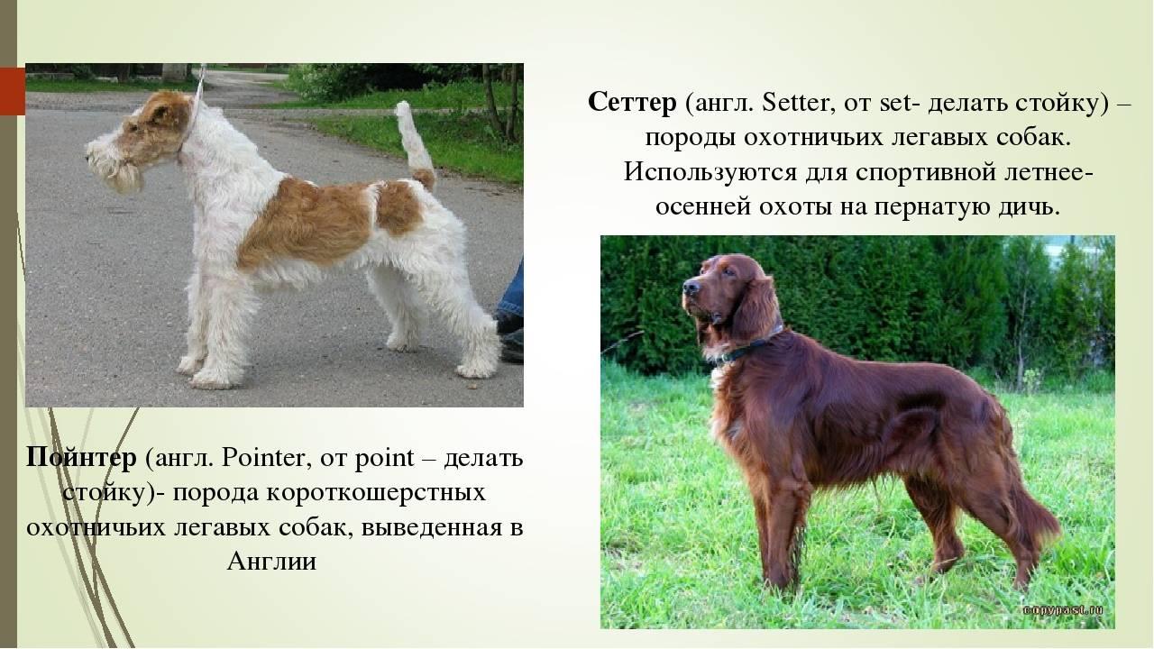 Знай наших: 9 пород собак, которых вывели в россии