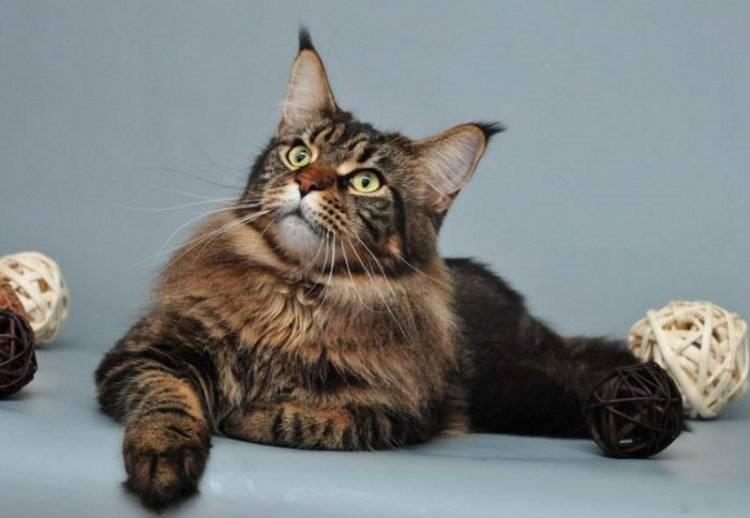 Самые умные породы кошек: топ 10 с фото, видео и названиями