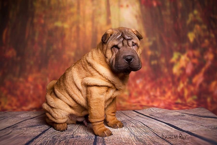 Описание породы шарпей: фото собак, принятый стандарт, особенности характера, плюсы и минусы, правила ухода и выбор питомца