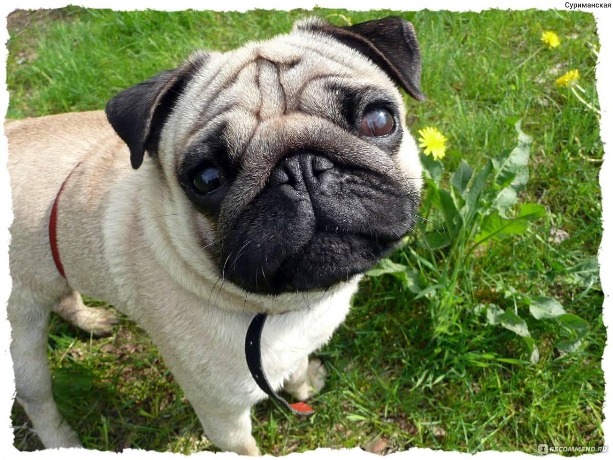 Как назвать мопса мальчика и девочку: красивые клички для собак