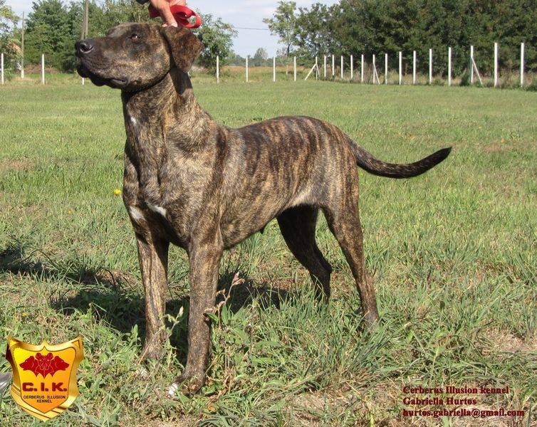 Веймаранер собака. описание, особенности, уход и цена веймаранера | sobakagav.ru