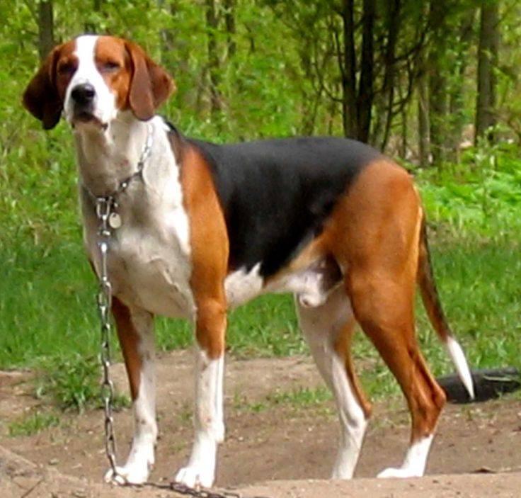 Русская гончая: описание породы, характер собаки и щенка, фото, цена