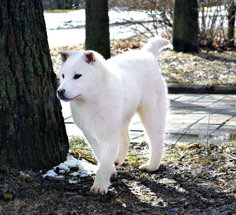 Порода собак якутская лайка - описание, характер, характеристика, фото якутских лаек и видео, цена
