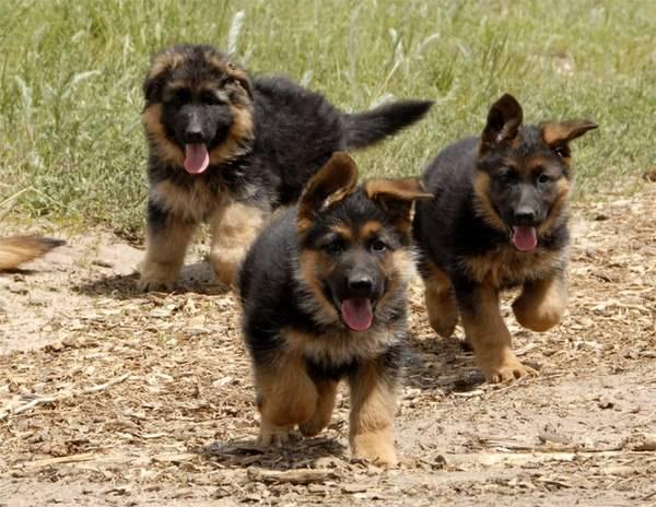 Как правильно выбрать щенка немецкой овчарки?