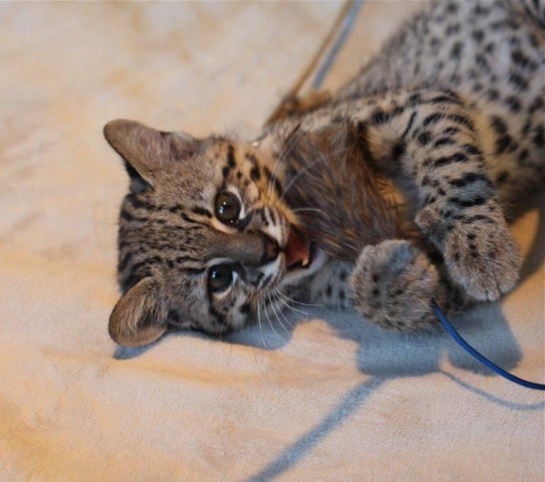 Кошка сафари: описание породы и особенности характера