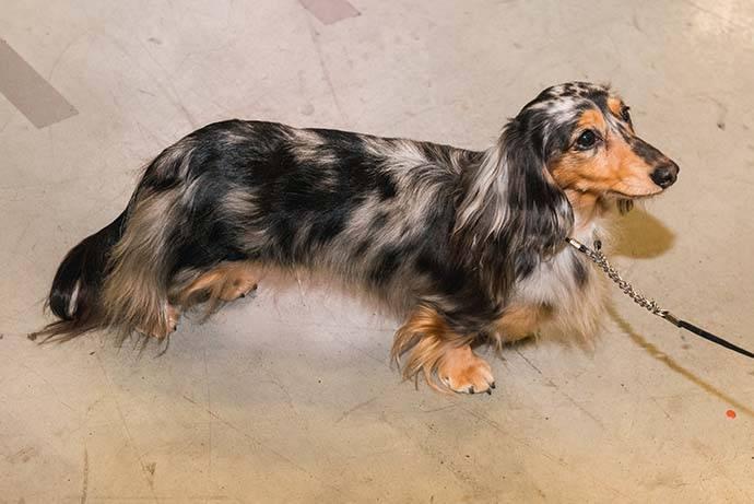 Длинношерстная такса: описание, правила содержания и выбора щенка