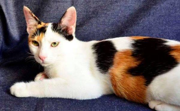 Узнайте больше о породе анатолийская кошка. происхождение породы анатолийской кошки, внешний вид, характер, окрасы, уход, цена и питомники.