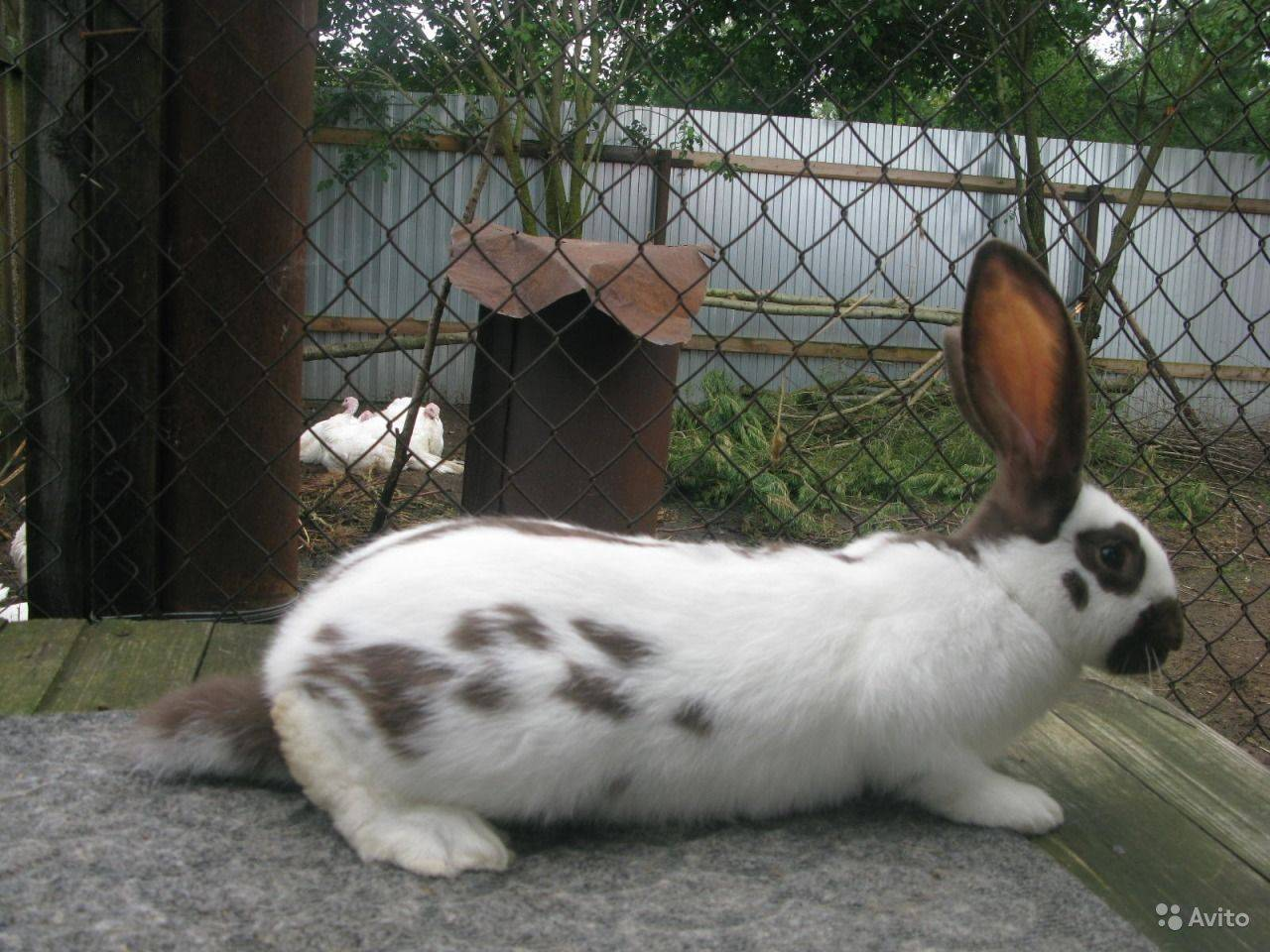 Кролик строкач: описание породы, характеристики, фото
