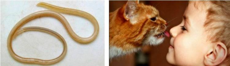 Может ли человек заразиться глистами от кошки: как и какими