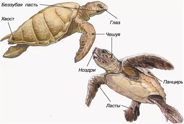 ᐉ рот и зубы черепах, сколько зубов в пасти у черепах - zoopalitra-spb.ru