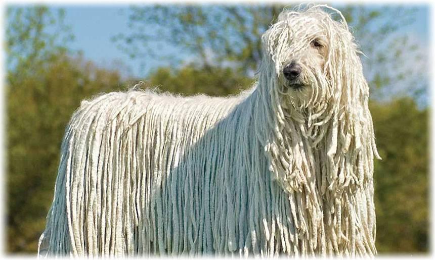 Комондор (венгерская овчарка): история, стандарты, дрессировка