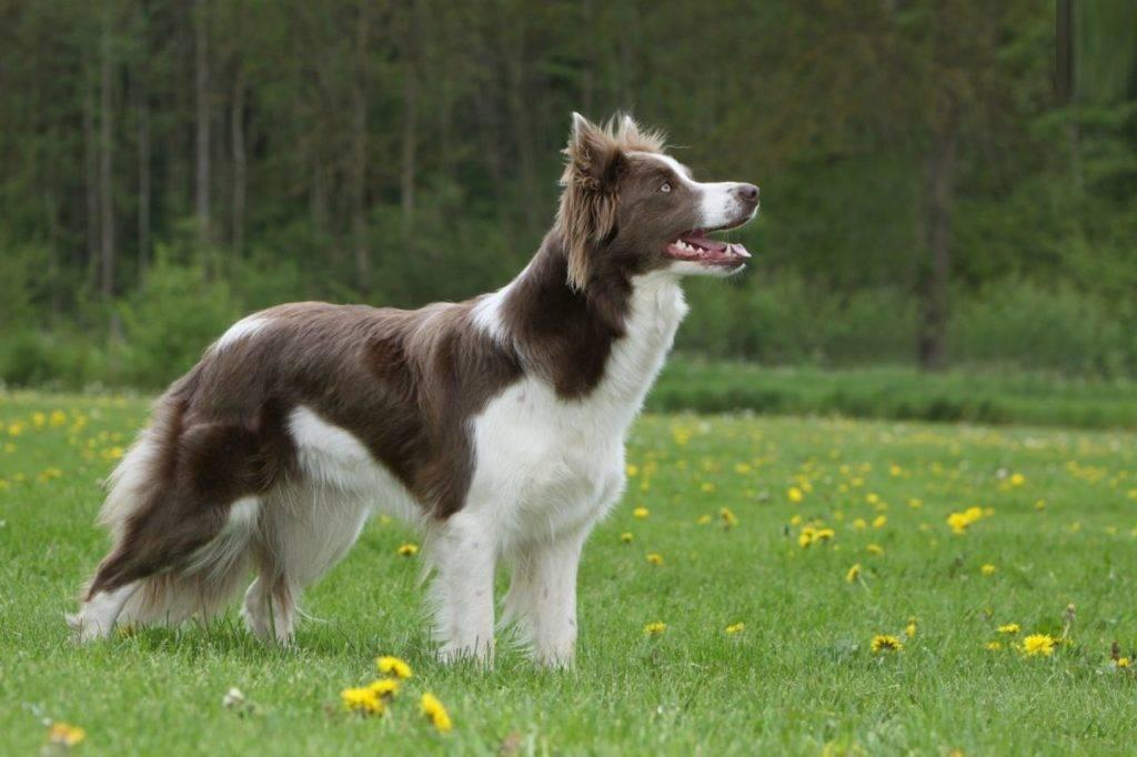 Пастушьи собаки. описание и особенности пастушьих пород собак