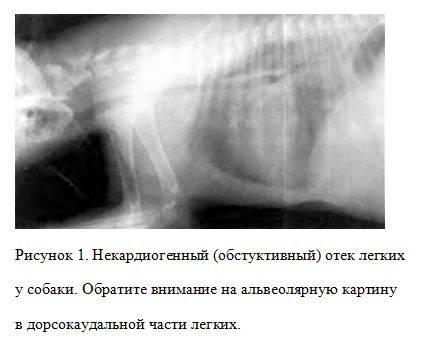Отек легких у кошек: причины, симптомы, лечение отек легких у кошек: причины, симптомы, лечение
