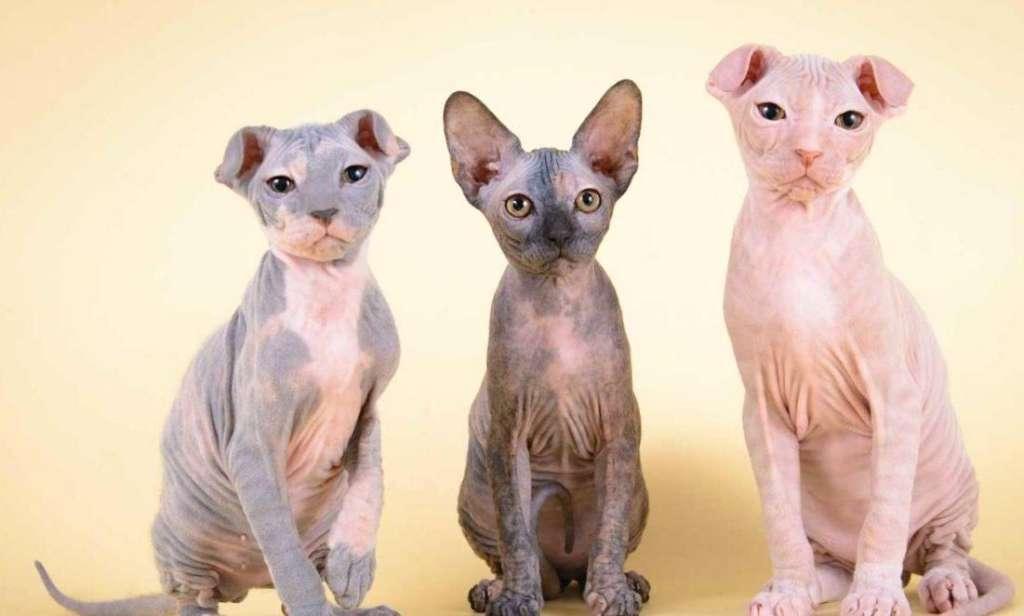 Кошка украинский левкой (сфинкс) - характеристика породы и содержание