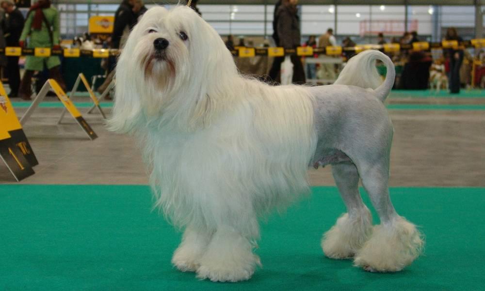 Порода: малая львиная собака (львиная собачка, лёвхен)