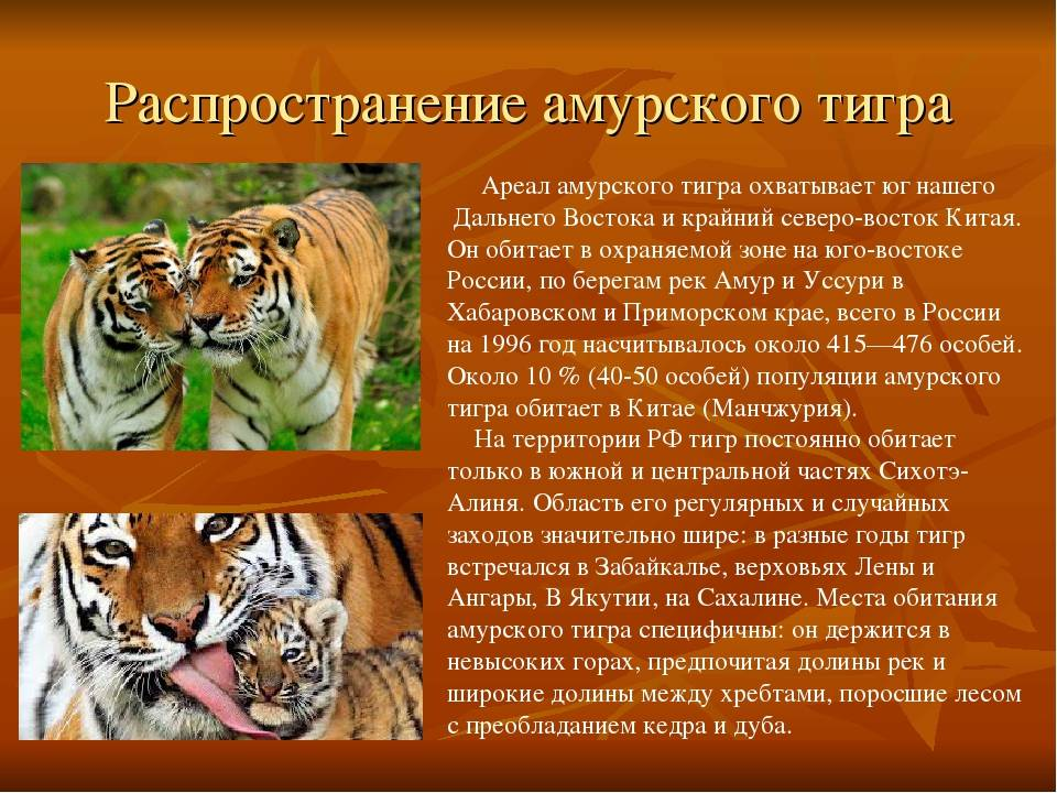 Ржавая кошка – фото, описание, ареал, рацион, враги, популяция
